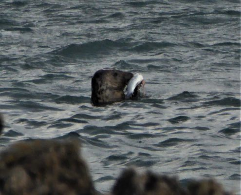 Seal and fish at Start Point