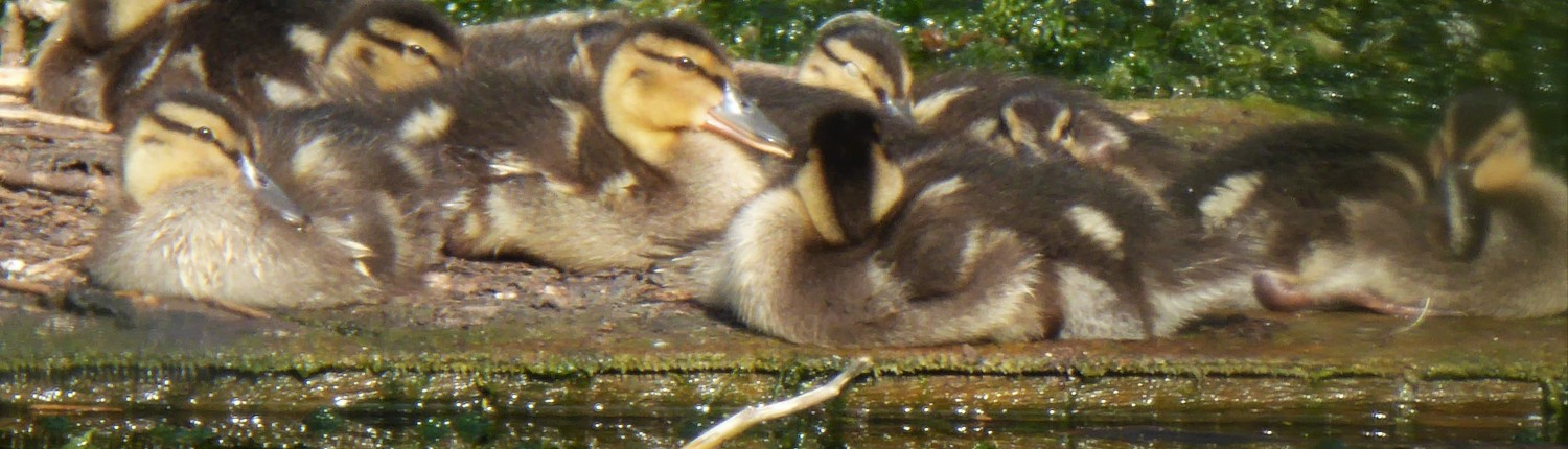 Ducklings at Dittiscombe, South Devon
