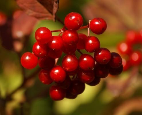 Berries in a Devon hedgerow