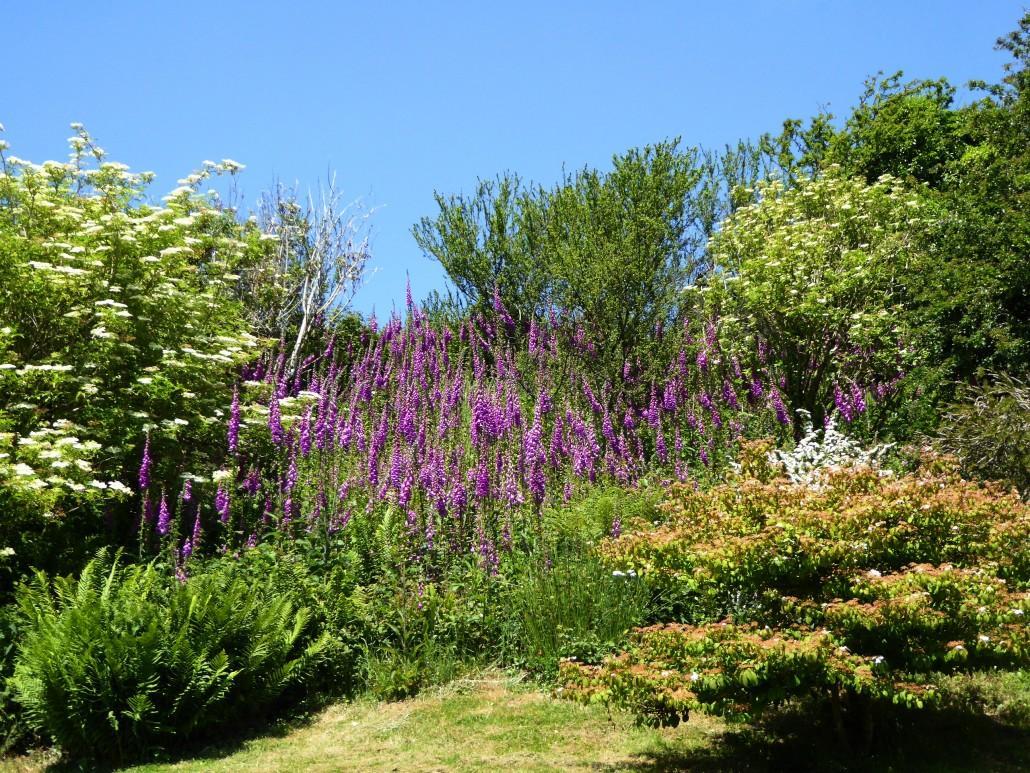 Buddleia garden near Slapton