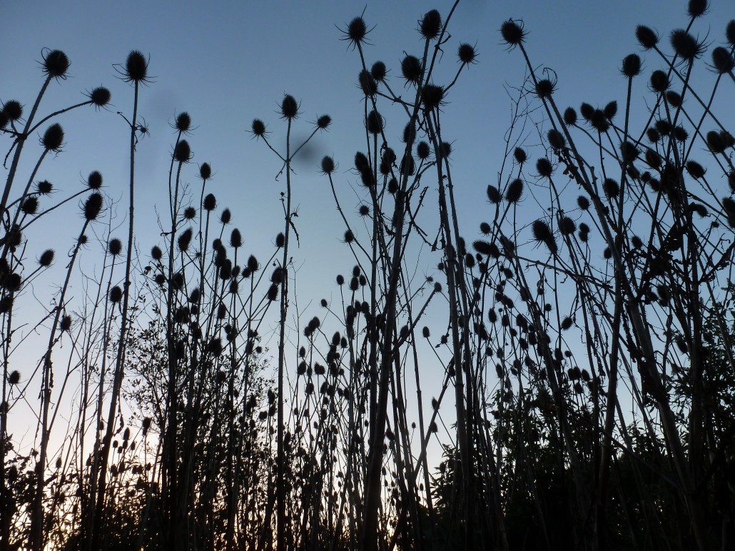 Teasels at Dittiscombe