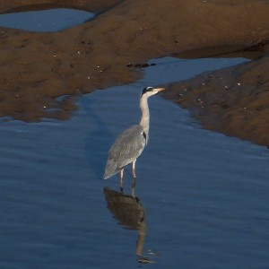 Heron at Dittiscombe South Devon