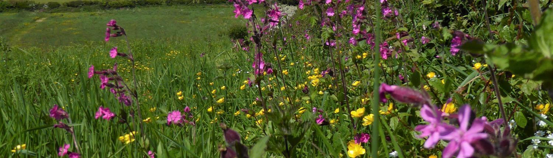 Wildflowers in a Devon hedge bank