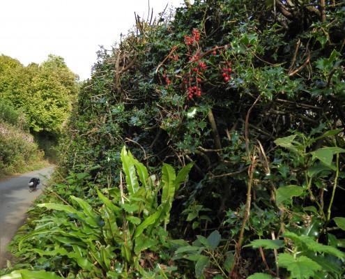 South Devon Hedgerow