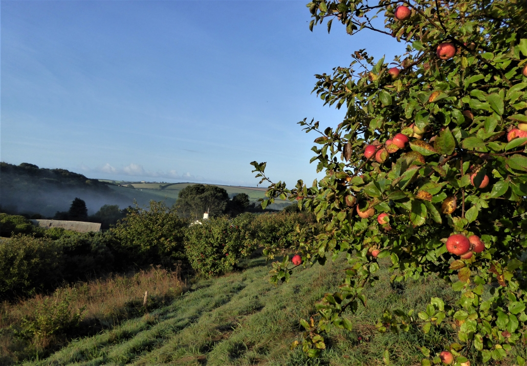 Apple Orchard at Dittiscombe, South Hams