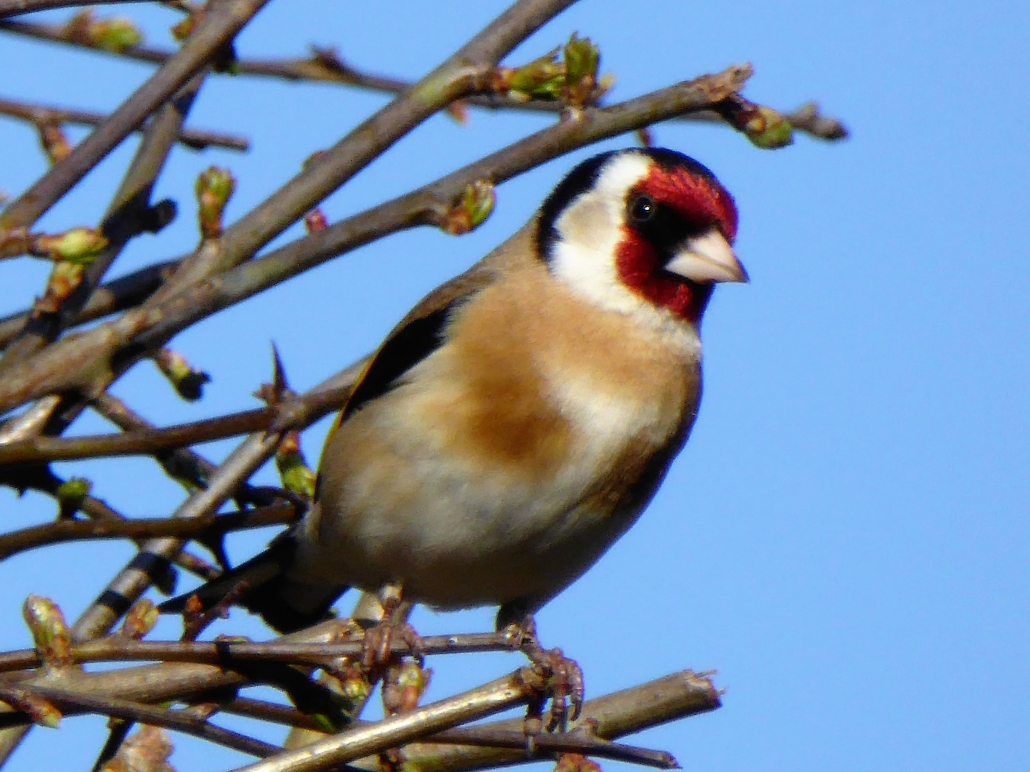 Goldfinch at Dittiscombe