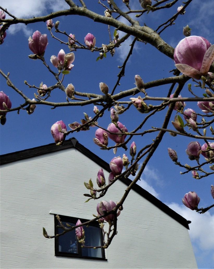 Magnolia tree outside Willows cottage, Dittiscombe