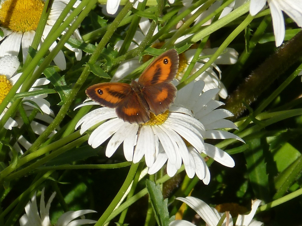 Gatekeeper butterfly at Dittiscombe