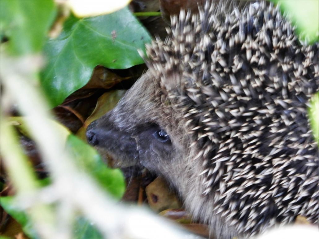 Hedgehog at Dittiscombe