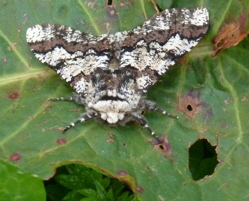 Oak Moth at Dittiscombe