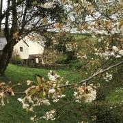 Wild cherries at Dittiscombe Estate