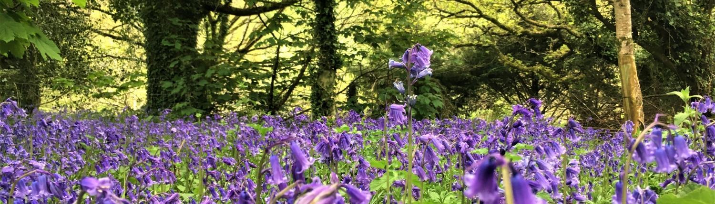 Bluebells in Dittiscombe Estate woodland
