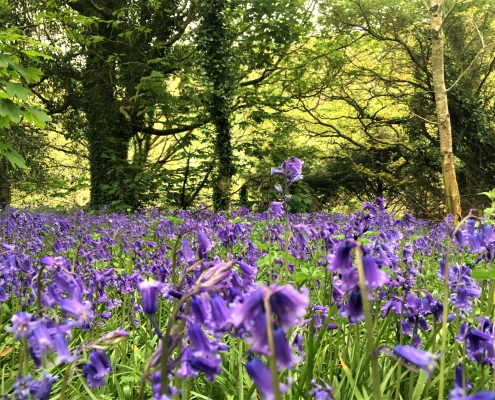 Bluebells in Dittiscombe Estate woodland