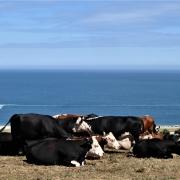 Cows grazing near Beesands, South Devon
