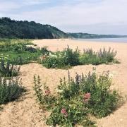 Coastal wildlife flowers of Start Bay beaches, South Devon