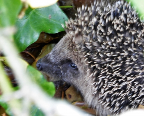 Hedgehog using a Devon hedgerow for cover and food