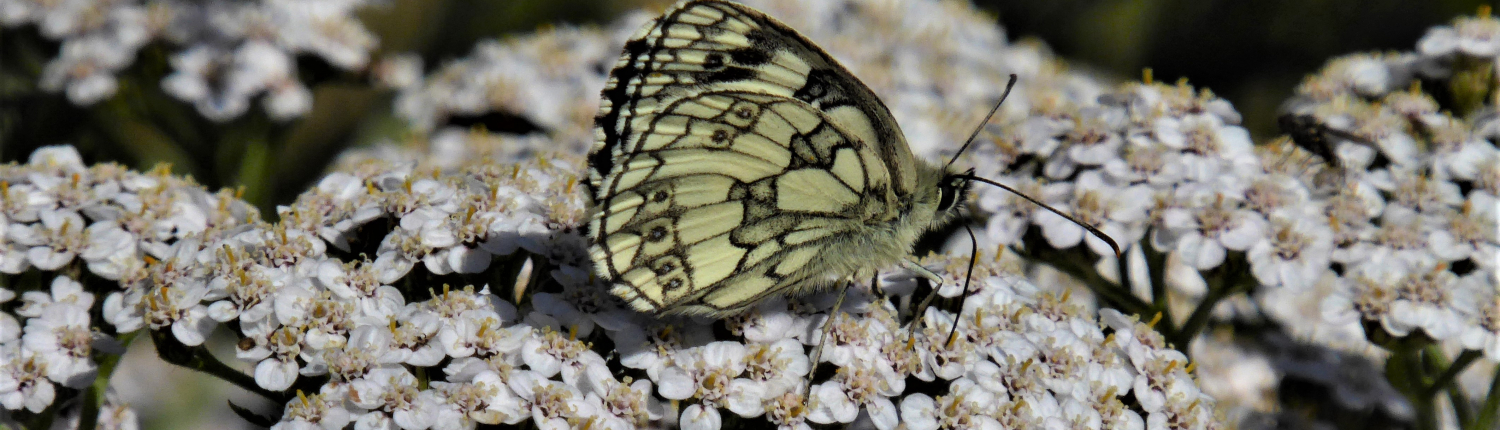 Marbled white butterfly on yarrow